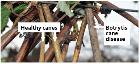 healthy canes at left, diseased, dark canes at right