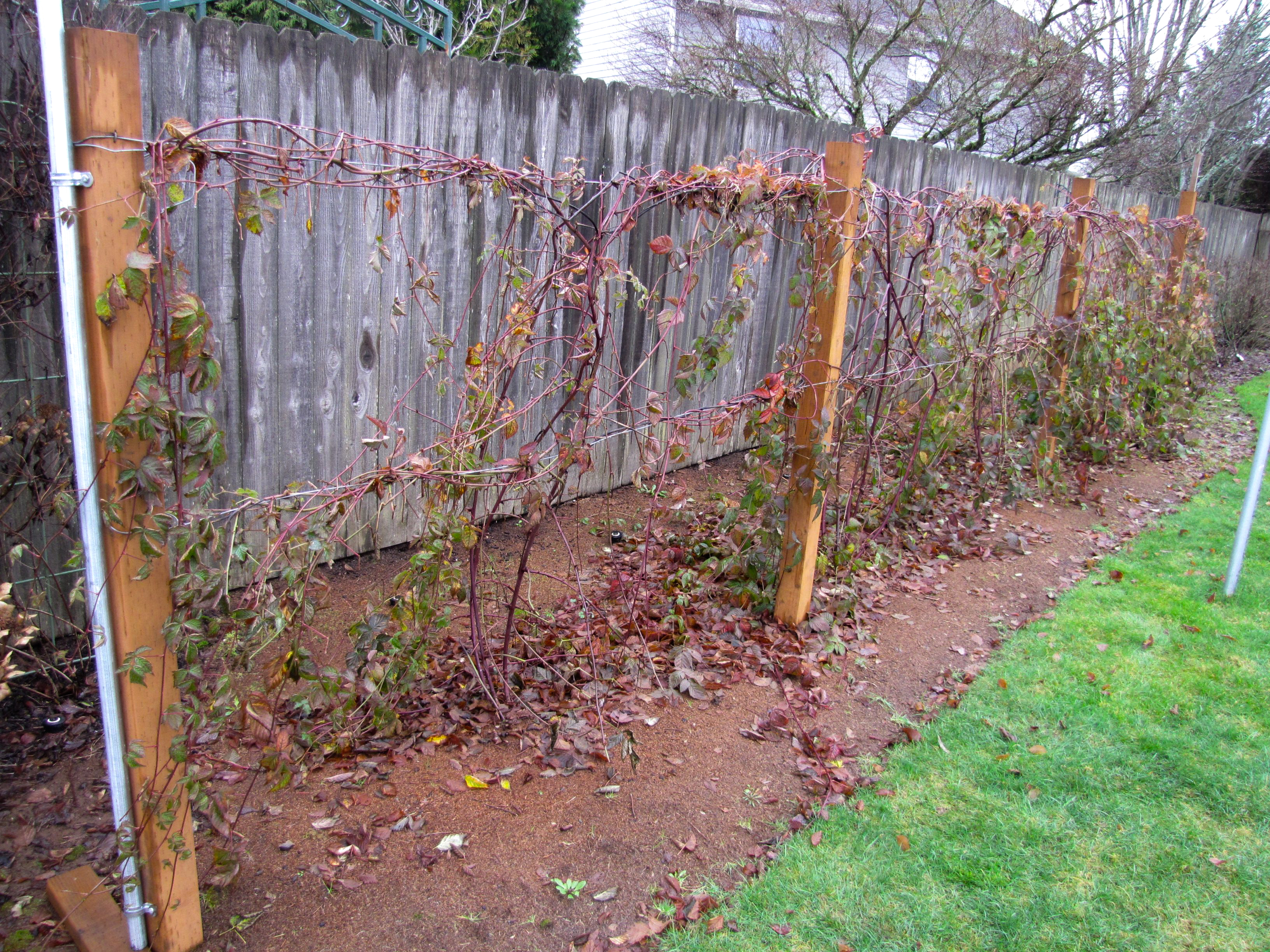 'Boysen' blackberry trained on fence