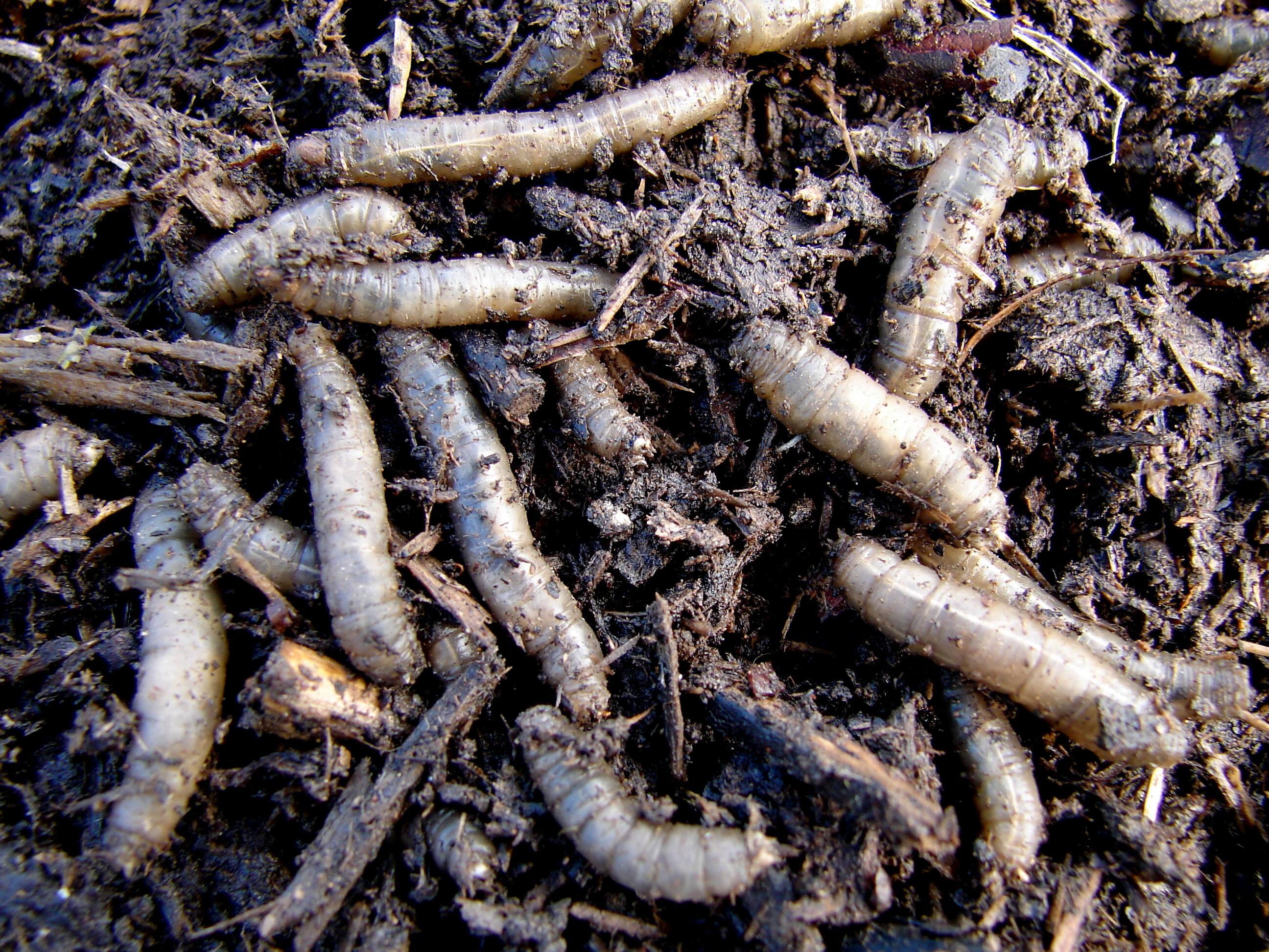 A group of gray maggots