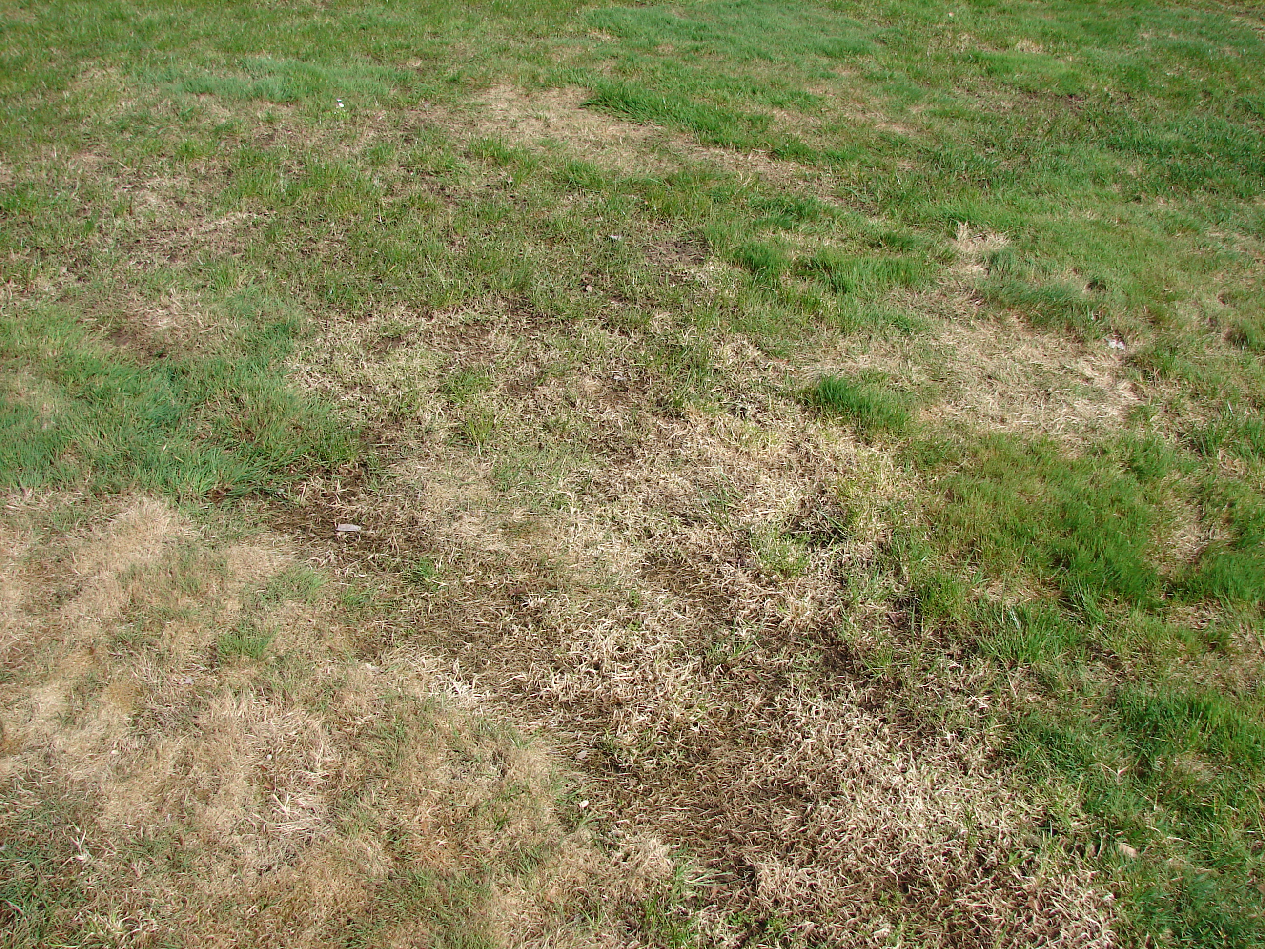 Thinning grass with brown, bare patches