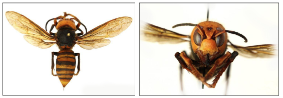 Photo: Washington State Department of Agriculture/CC 3.0 Dorsal view (left) and anterior view (right) of the Asian giant hornet (Vespa mandarinia).