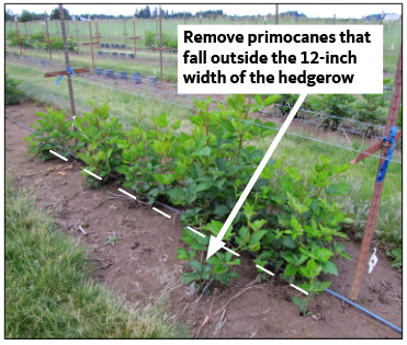 Prune out canes that grow beyond a row width of 12 inches.