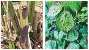 purple blotches on canes, left, and spotted leaves, right