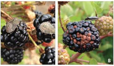 Brown marmorated stink bug nymphs on fruit, left, and damaged fruit, right