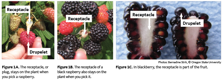 The receptacle (white center) on a blackberry stays with the fruit when you pick it.