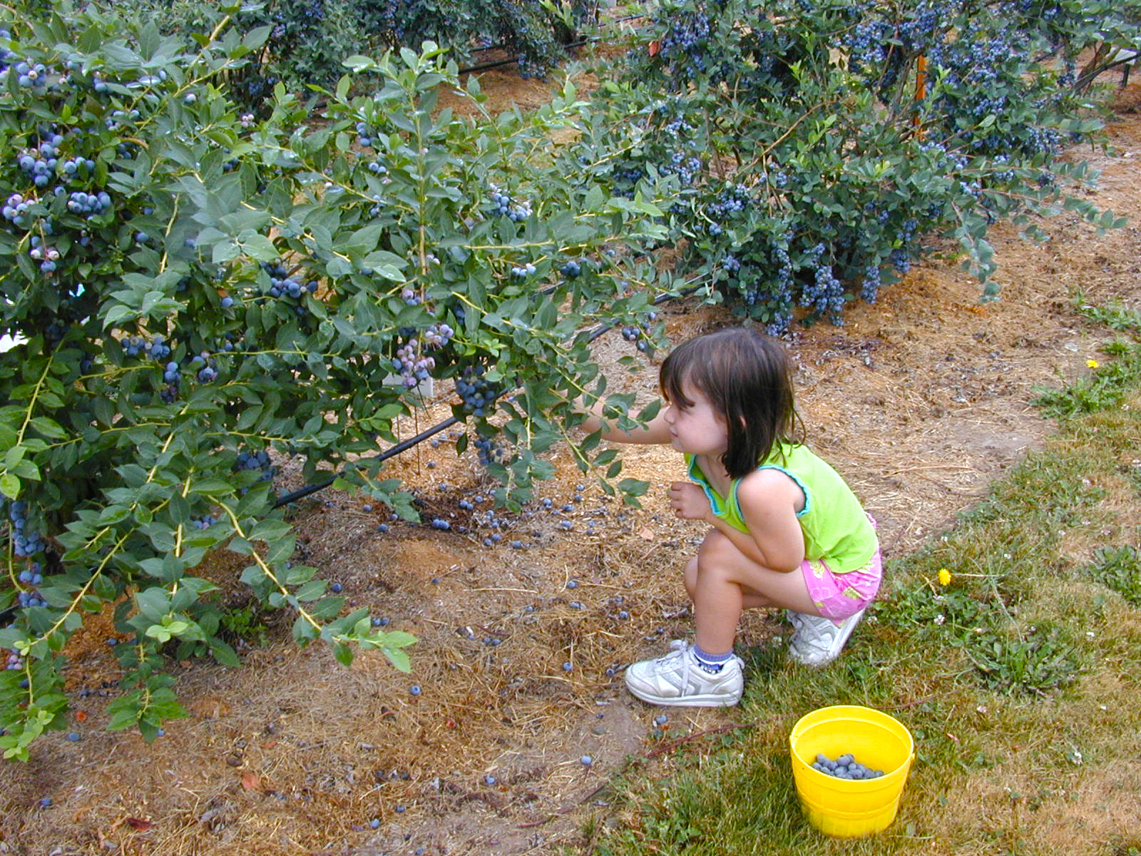 A little girl picks berries into a yellow bucket