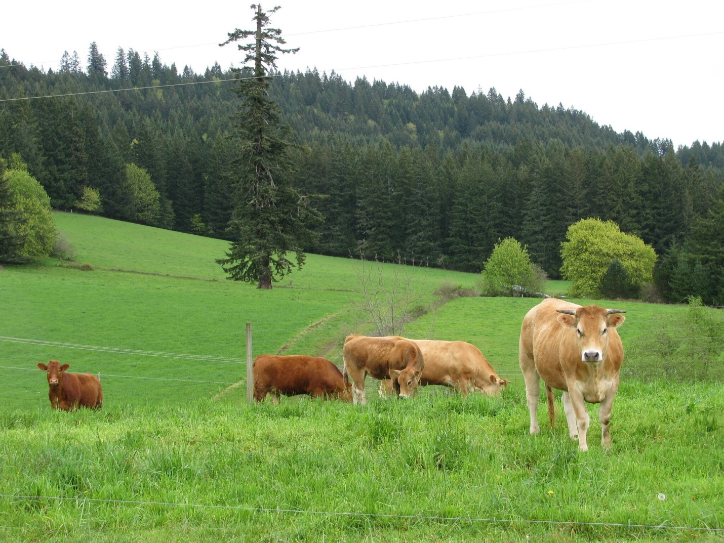 Photo: Melissa Fery, © Oregon State University Figure 1. A herd of cows that has just been moved to an ungrazed pasture.