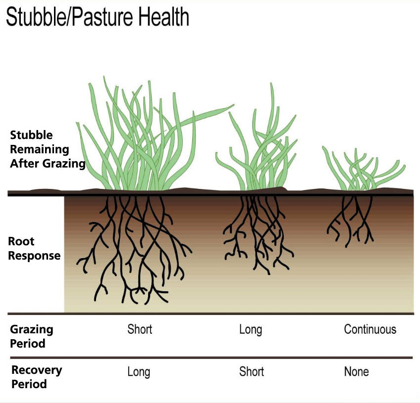 Figure 5. Relationship among stubble remaining after grazing, recovery period and root growth.