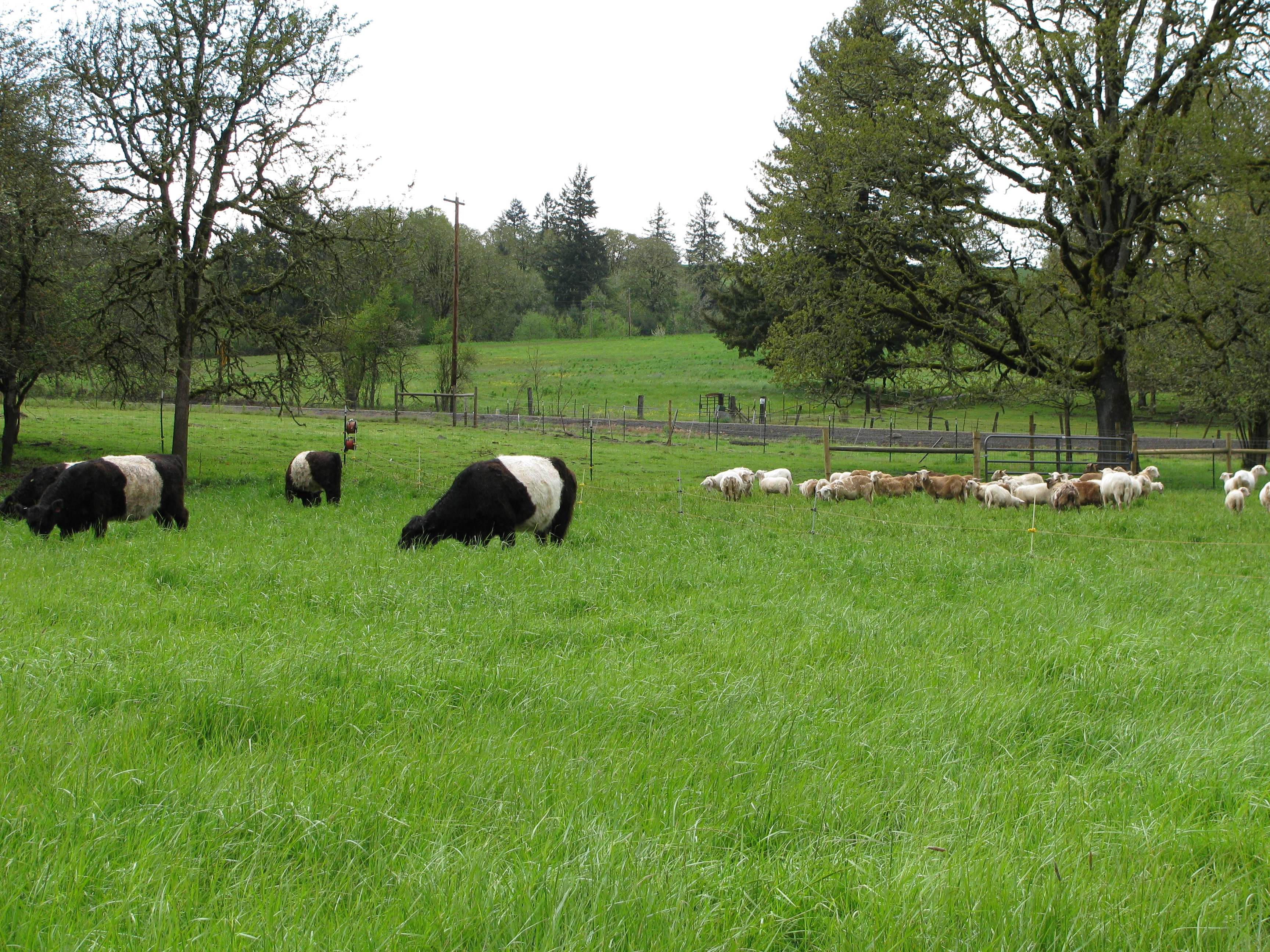 Photo: Melissa Fery, © Oregon State University Figure 9. Multispecies grazing works best when livestock are complementary in their foraging and nutritional demands.