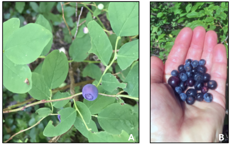 Vaccinium ovalifolium, the oval-leafed huckleberry (left): V. membranaceum, mountain huckleberry (right)