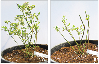 Dormant plant before pruning (A) and after pruning (B)