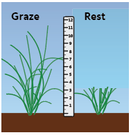 Tall plant at left for grazing, short plant at right indicates rest is needed