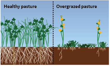 Lush growth at left, shallow roots and sparse growth in overgrazed pasture (right)