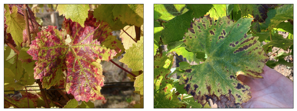 Photos: Daniel Dalton, © Oregon State University Figure 2: Grapevine red blotch virus (GRBV) infects both red (left) and white (right) varietals, but the expression of the disease may differ between the two. Note that leaves of these GRBV-infected vines remain flat.