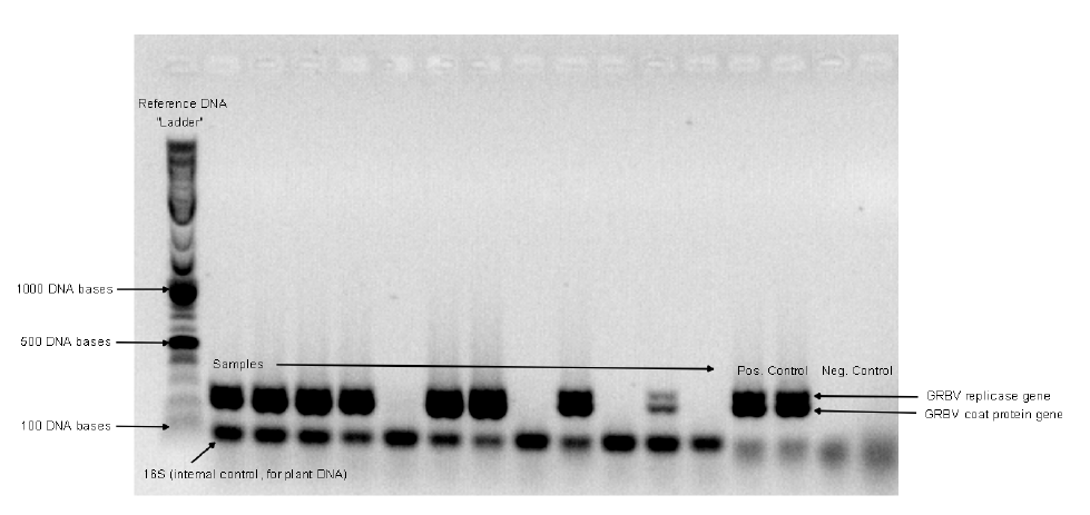 Photo: Alec Levin, © Oregon State University Figure 3: Polymer chain reaction (PCR) gel results of a GRBV-positive sample. PCR sorts molecules by size, creating a characteristic fingerprint that can be compared to patterns created by known molecules.