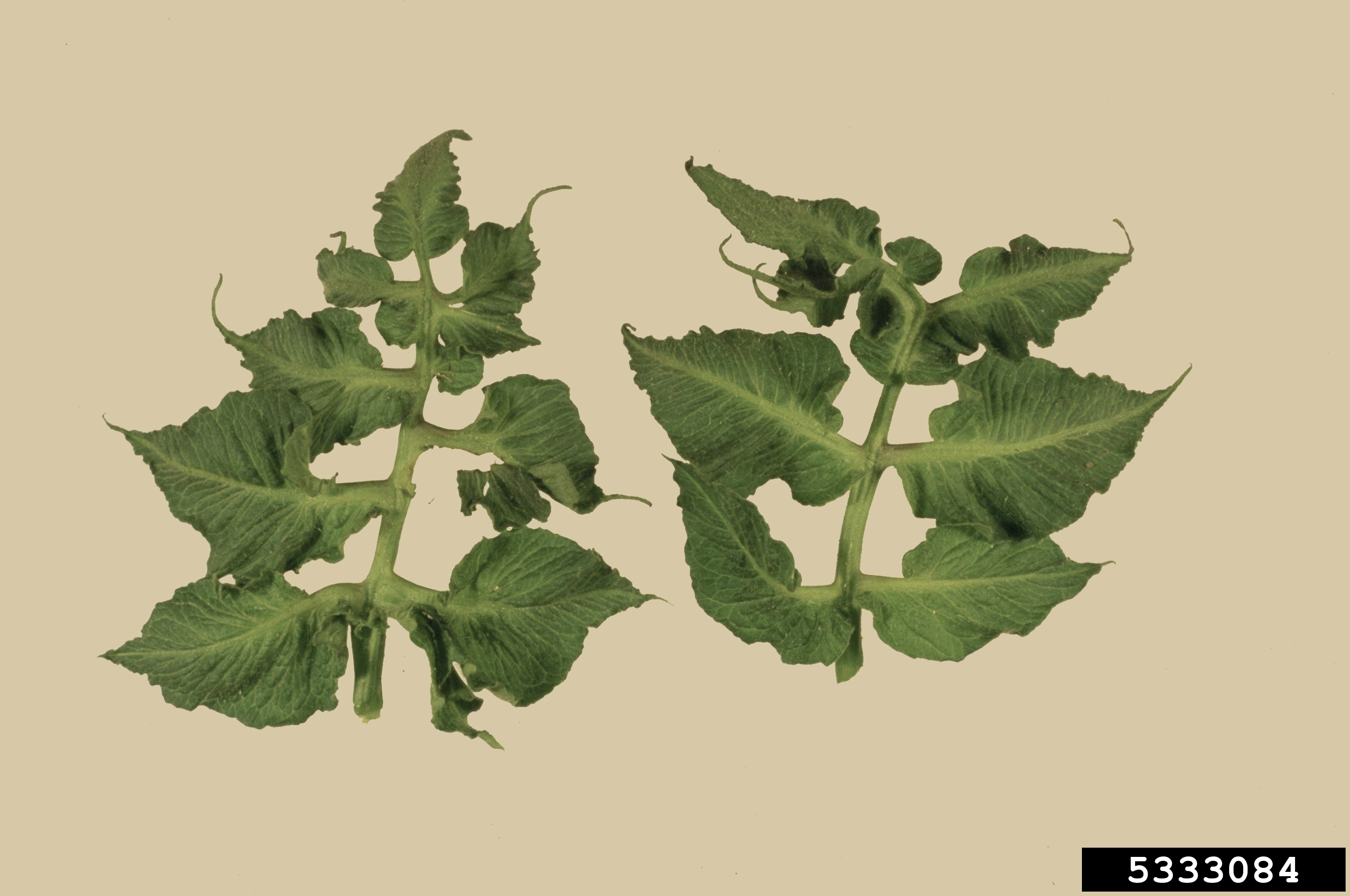 Distorted, cuplike tomato leaves