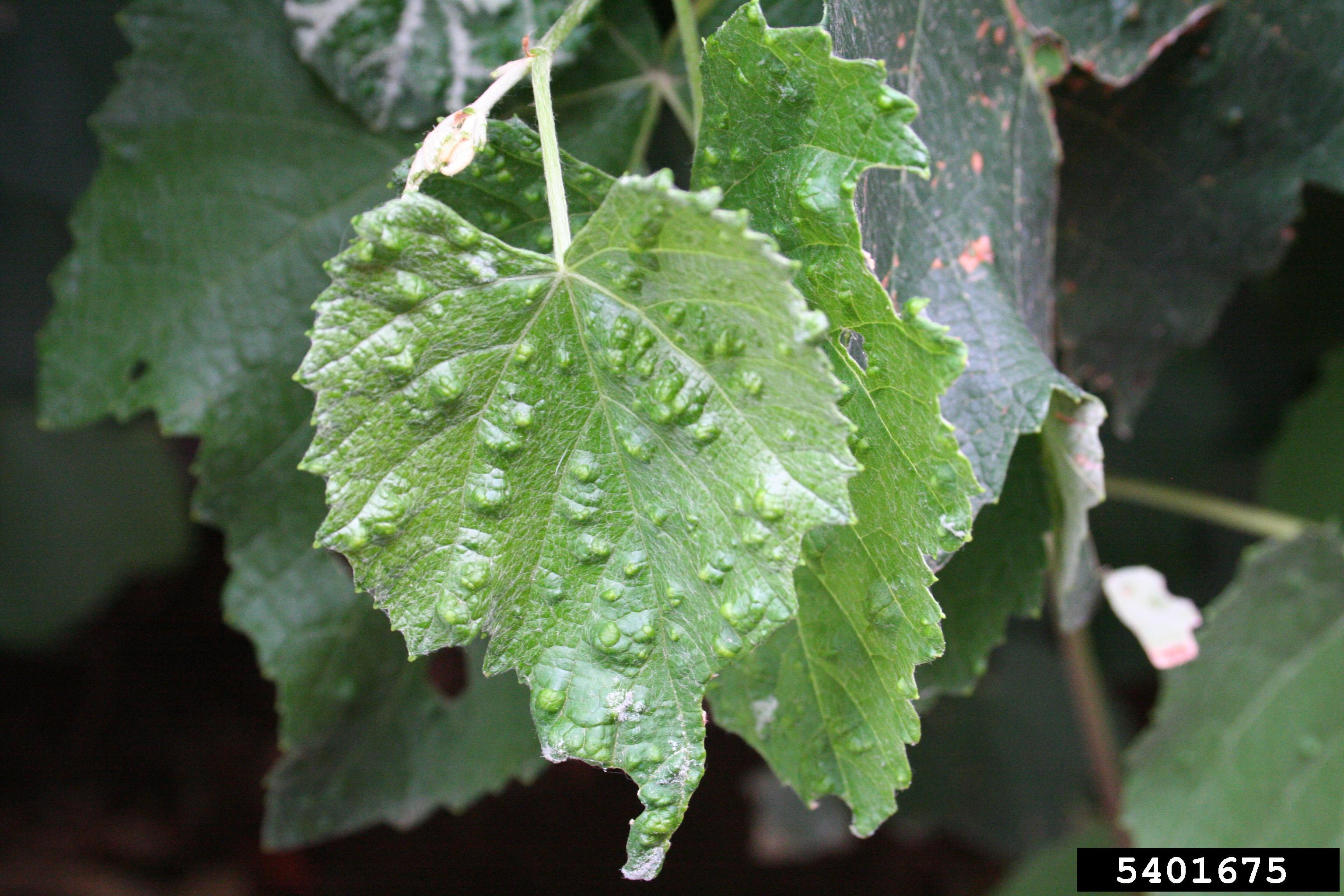Bumps on grape leaves