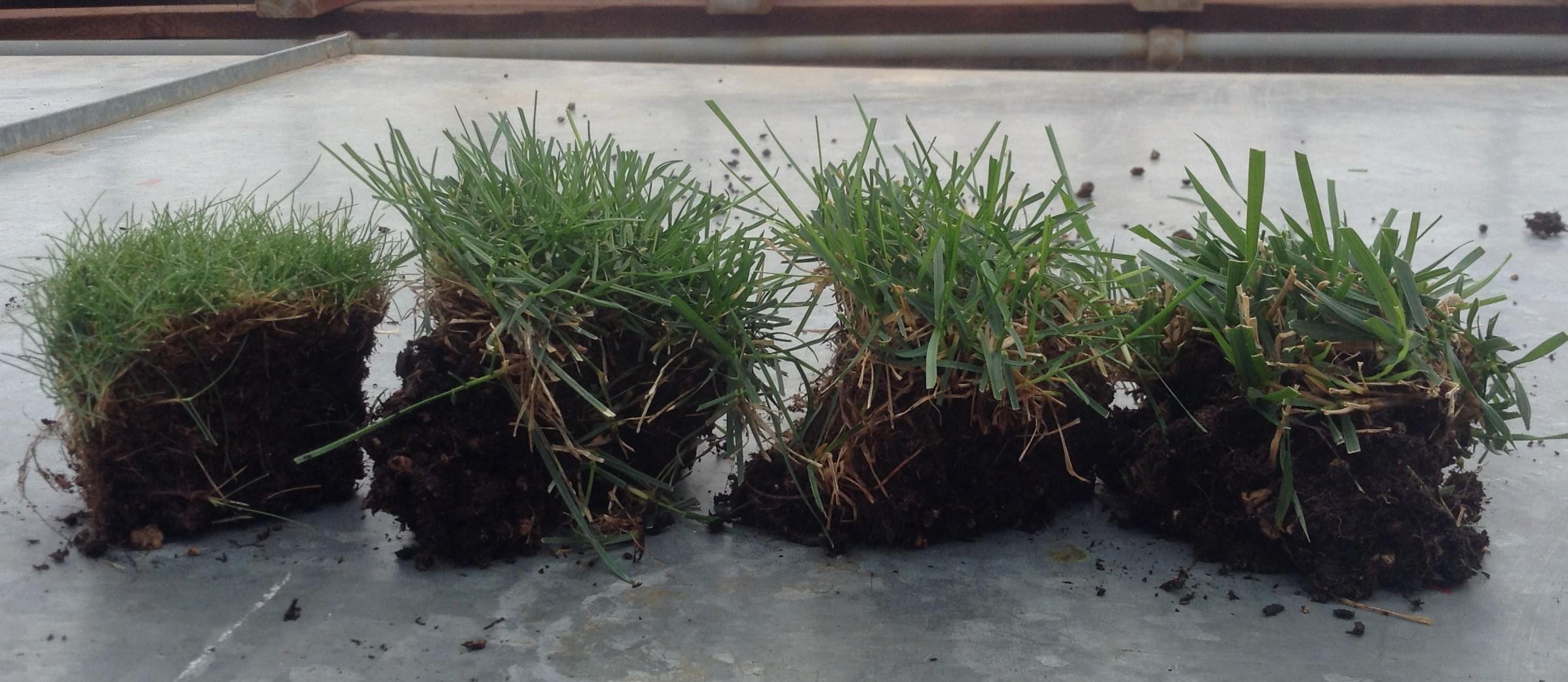 Photo: Alec Kowalewski, © Oregon State University Figure 2: Turfgrass species from fine to course leaf texture, left to right: fine fescue, perennial ryegrass, Kentucky bluegrass and tall fescue, Corvallis, Oregon.