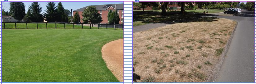Photo: Alec Kowalewski, © Oregon State University Figure 1: Regularly irrigated turgrass (left) compared to unirrigated turfgrass (right) in Corvallis, Oregon in 2019.