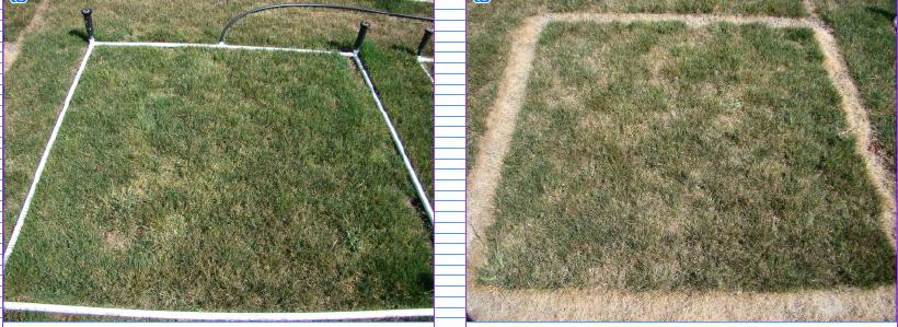 "Photo: Alyssa Cain, © Oregon State University Figure 3: Irrigation applied at ¼"" depth four times per week (left) and irrigation applied at 1"" once per week (right), Sept. 3, 2019, Corvallis, Oregon."