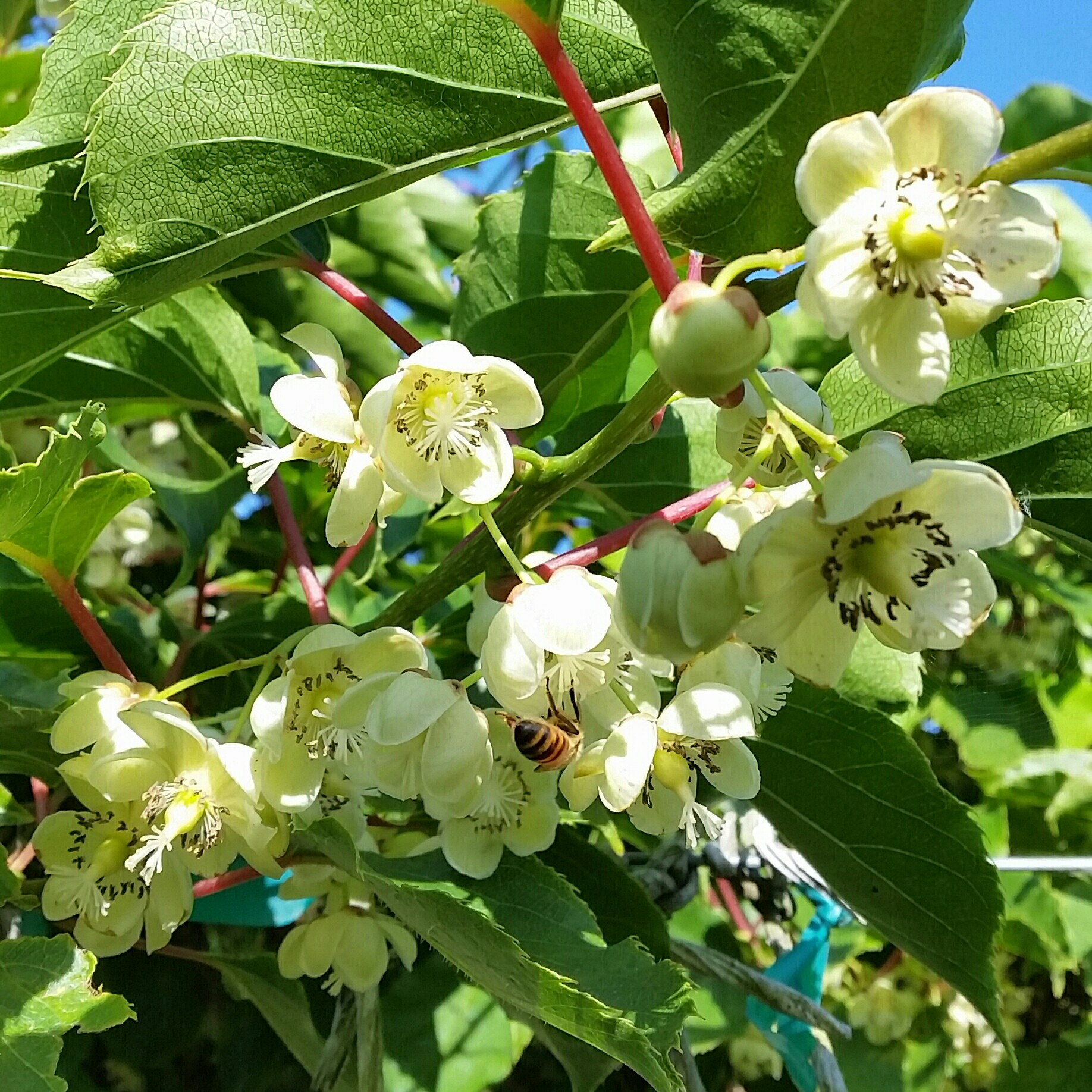 many white kiwiberry flowers
