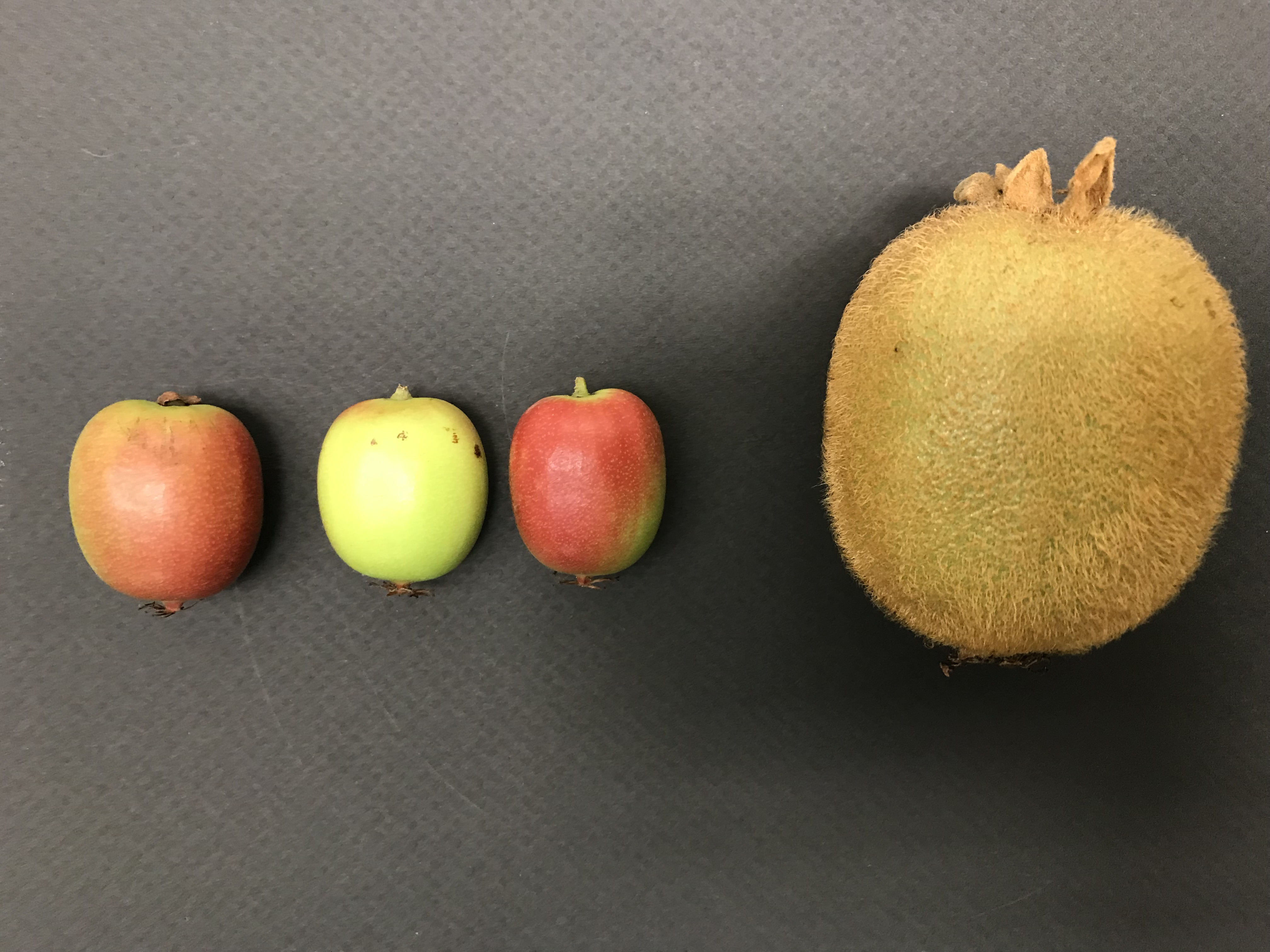 3 small Kiwiberries, 1 large kiwifruit