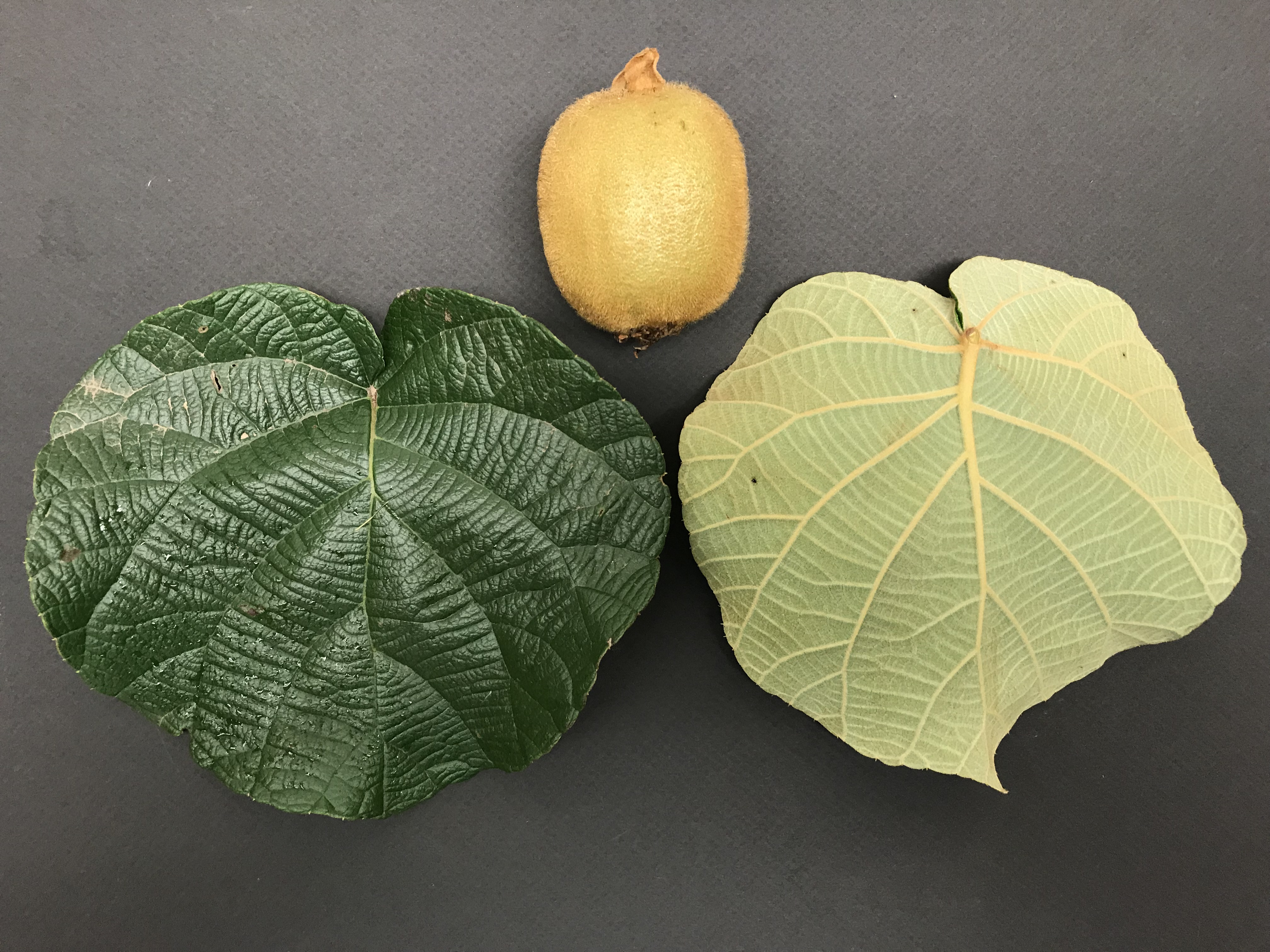 top and bottom views of leaves and fuzzy kiwi
