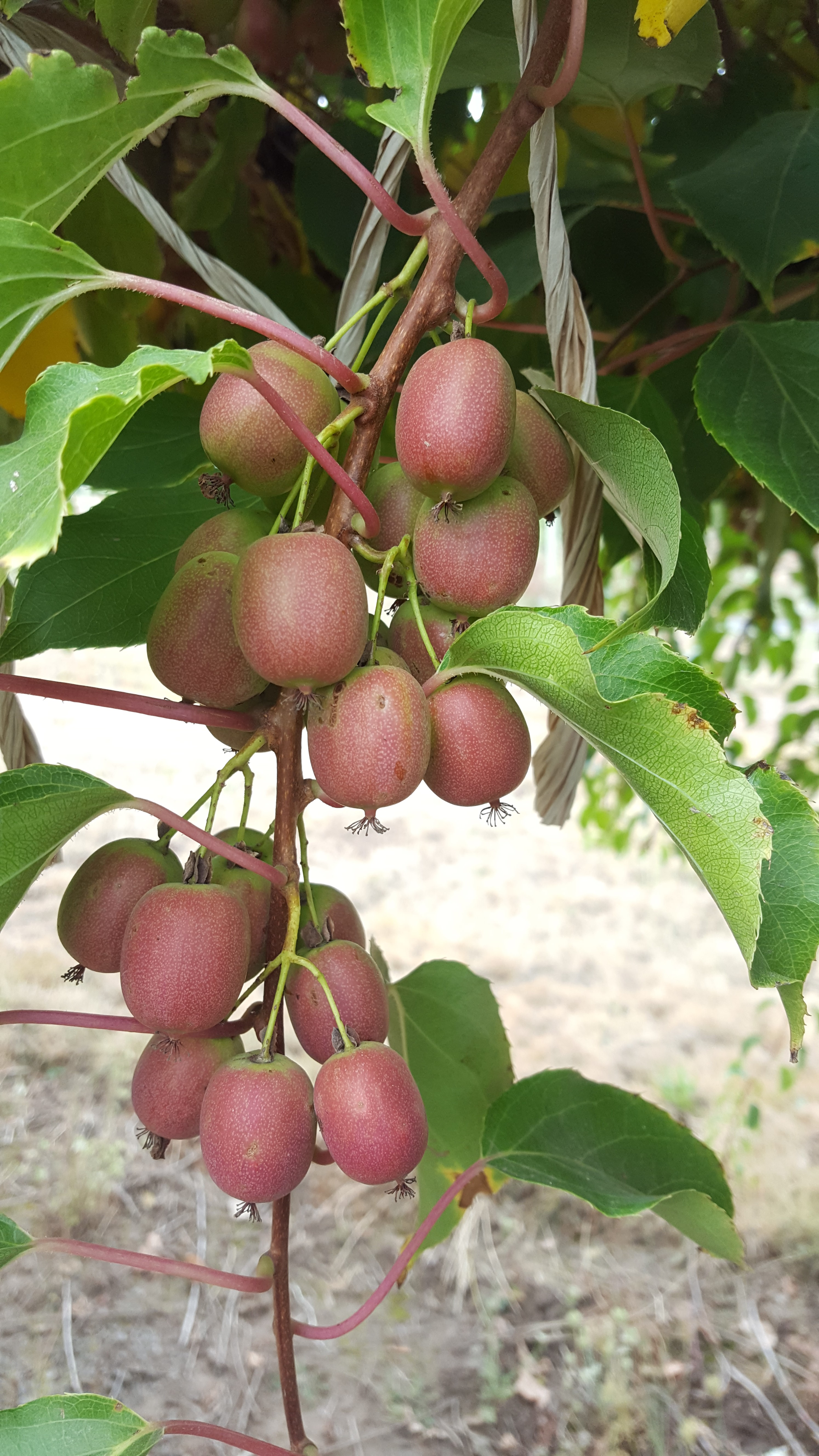 pinkish oval-shaped fruit on vine