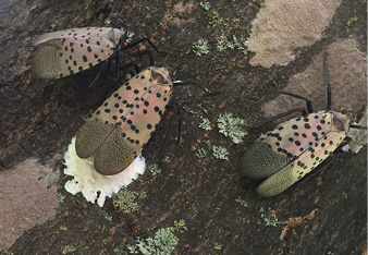 Figure 4. Female spotted lanternfly laying eggs on a trunk. Older egg clusters (tan) are shown left and right; newly laid egg cluster (whitish) is in the middle. Photo: Emelie Swackhamer, Penn State University.