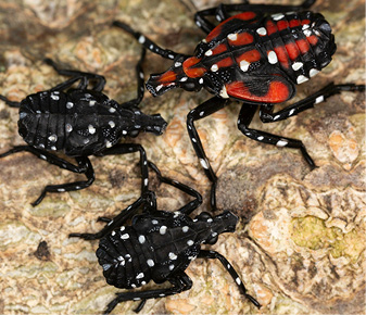 Figure 5. Nymphs (juveniles) of spotted lanternfly. The first through third instar stages are black with white spots (lower left). Fourth-instar nymphs have red coloration with white spots (upper right). Photo: Stephen Ausmus, USDA-ARS.