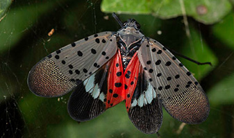 Figure 6. Adult spotted lanternflies look like moths when wings are open. Photo: Stephen Ausmus, USDA-ARS.