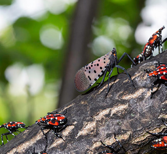 Figure 7. Adults lack visible red areas when wings are closed. Fourth-instar nymphs are also shown resting on a trunk with the adult. Photo: Stephen Ausmus, USDA-ARS.