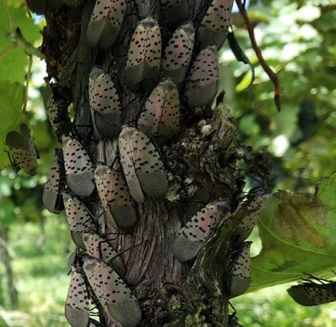 Figure 8. Spotted lanternfly adults aggregating on a grapevine trunk.  Photo: Heather Leach, Penn State University.