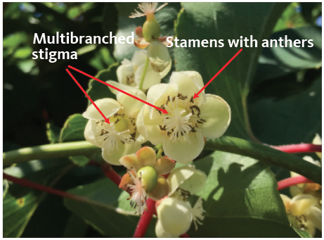 Multi-branched stigma and stamens with anthers