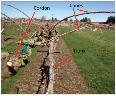 Cordon, cane and trunk of bare vine