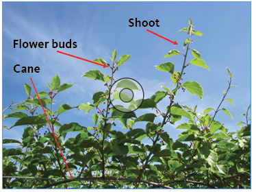Cane, flower buds and shoot