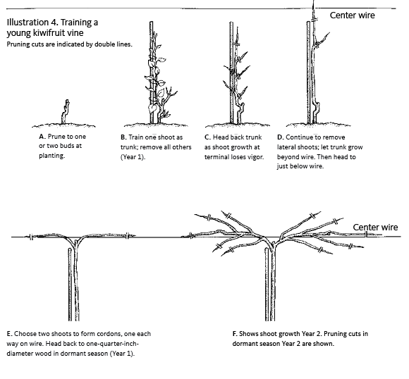 drawing showing where to cut vine at various stages
