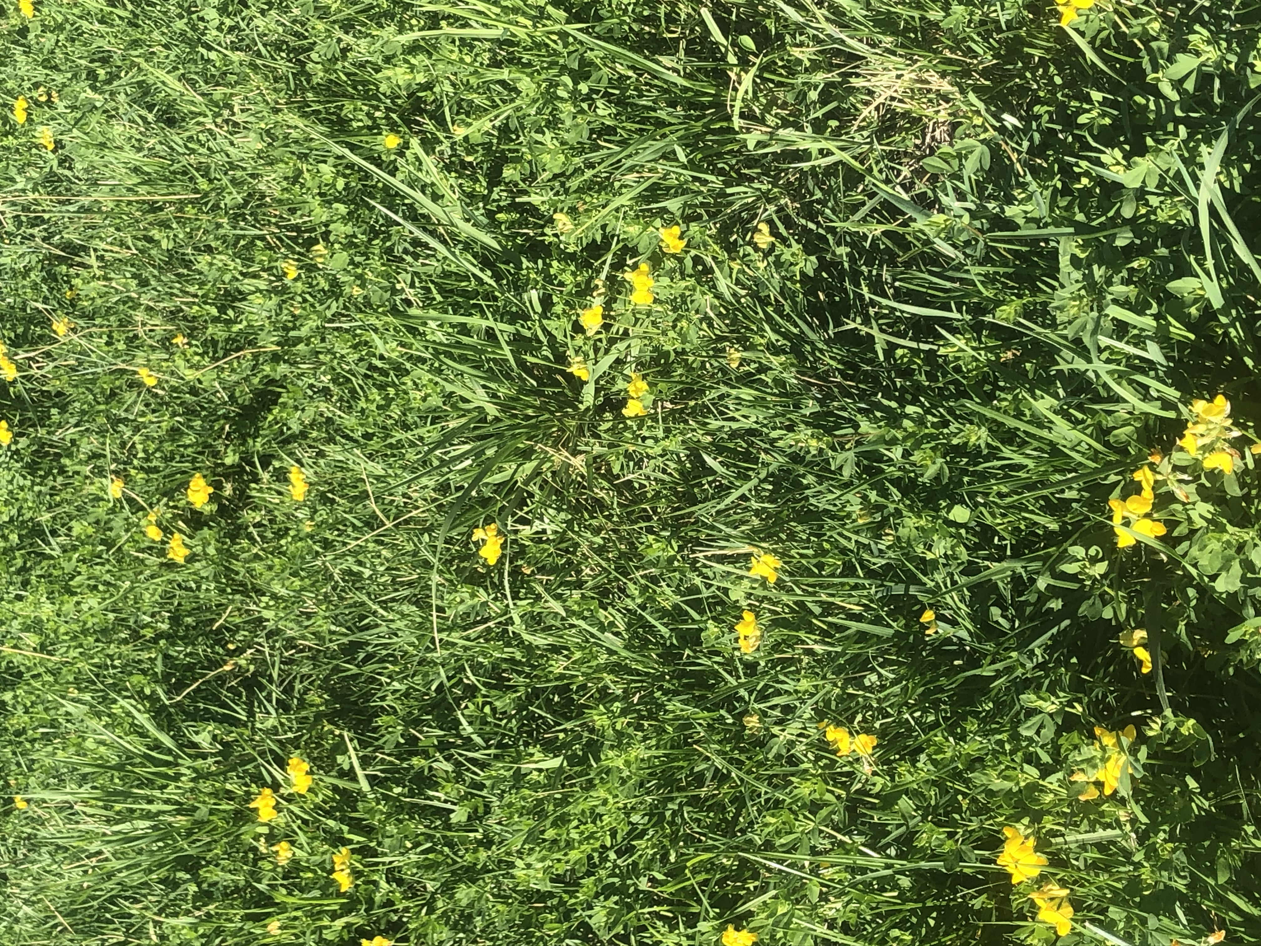 Yellow flowers in a grassy pasture
