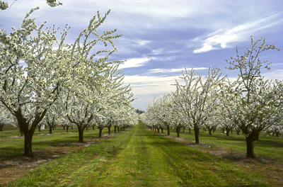 Sweet cherry orchard in bloom