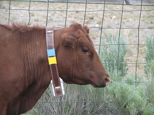 Cow in collar