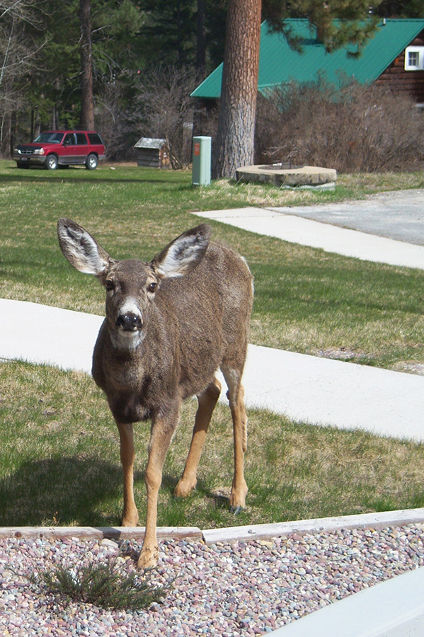 A white-tailed deer standing in a yard.