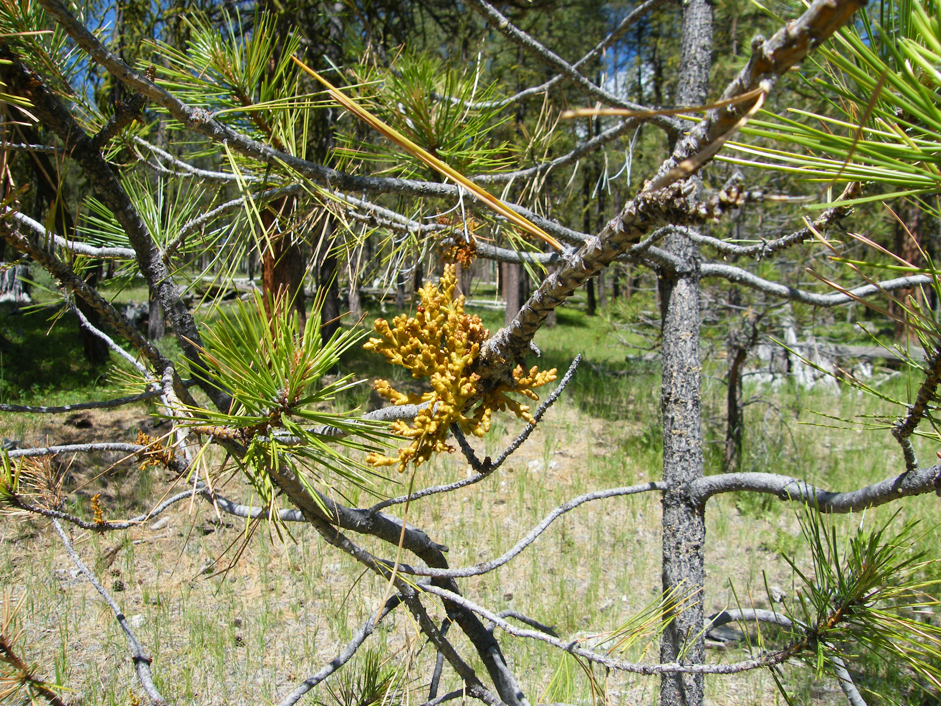 Western dwarf mistletoe on a ponderosa pine. Photo: Dave Shaw, © Oregon State University