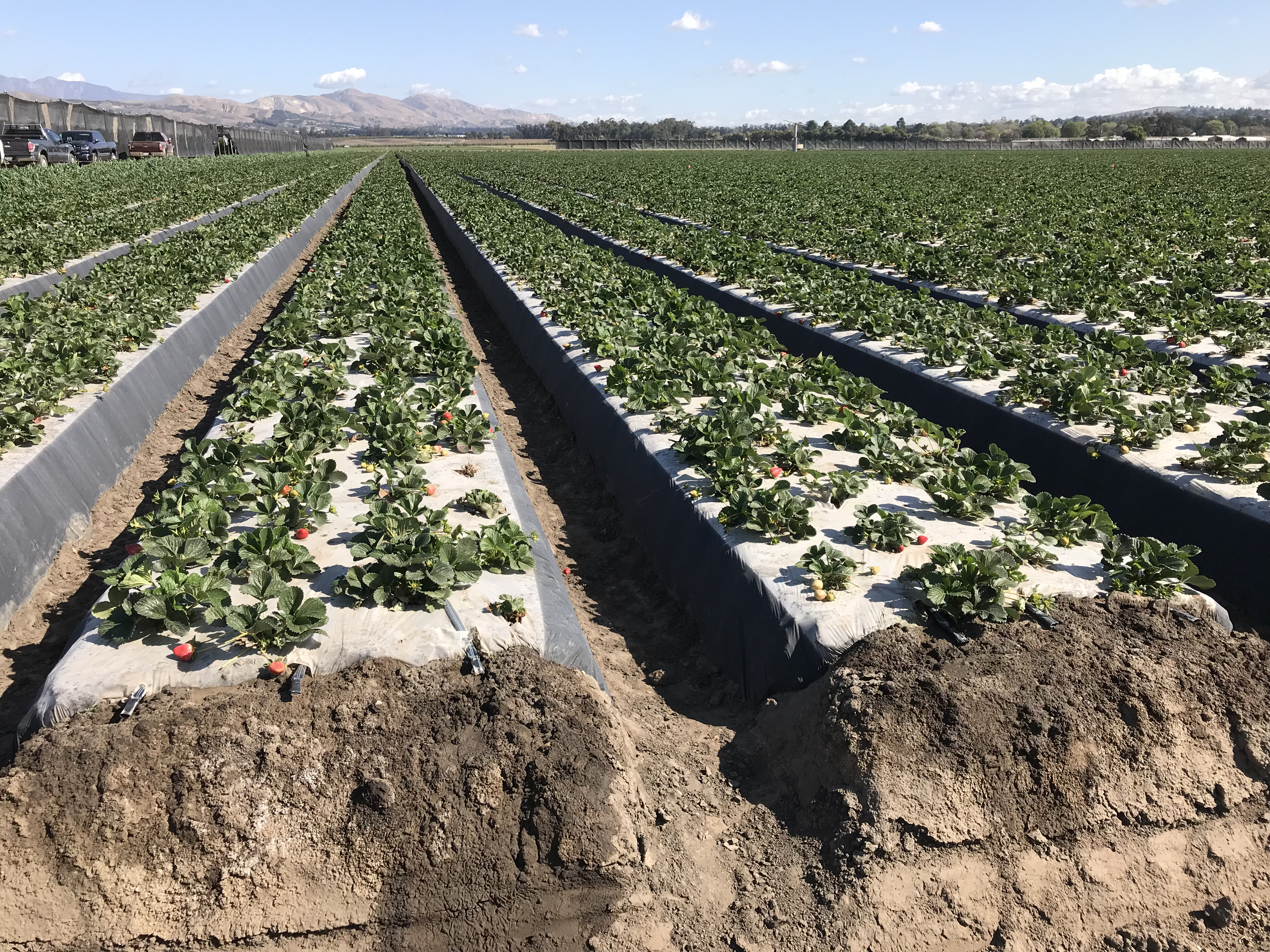 Strawberry Nutrient Management Guide for Oregon and