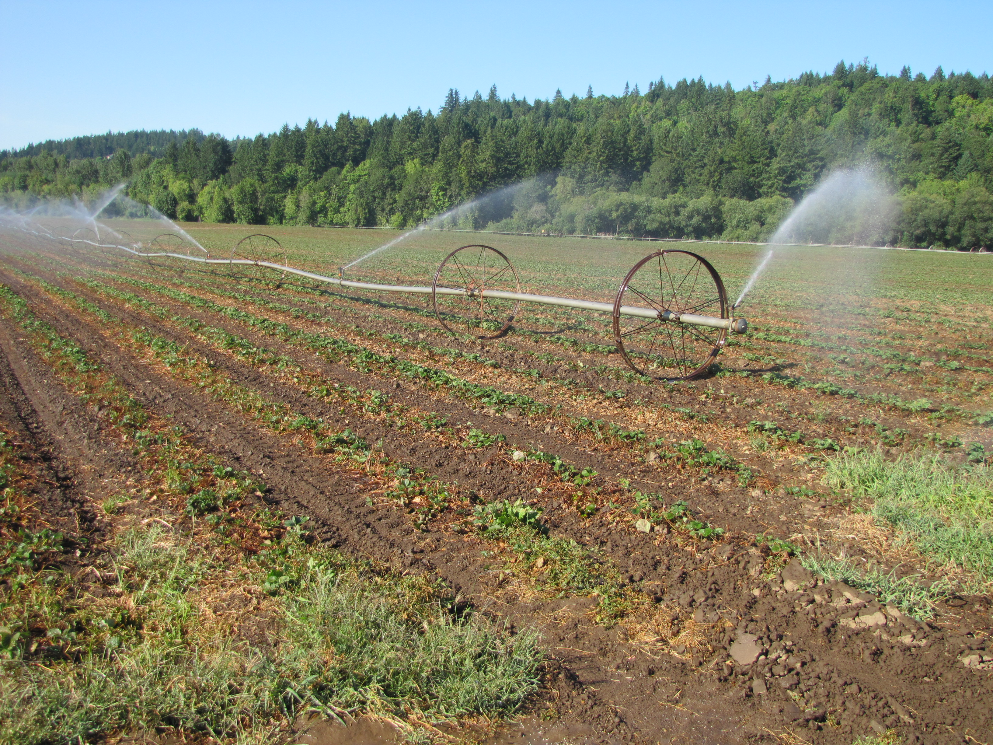 Figure 13. Irrigating a June-bearing strawberry field after renovation to facilitate nitrogen fertilizer uptake and good growth prior to flower bud development.
