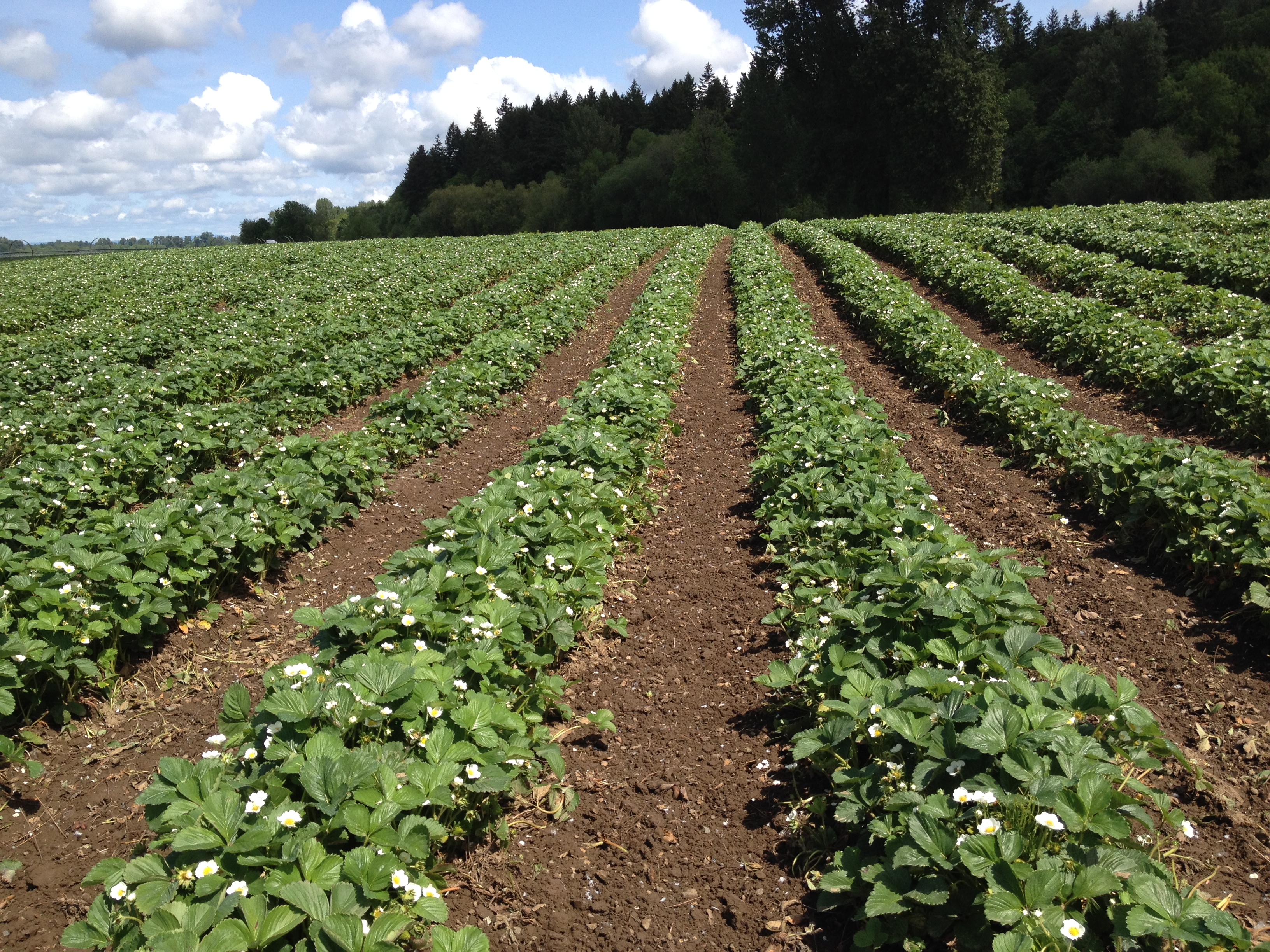 Figure 1. Matted-row field of June-bearing (short-day) strawberries grown on flat ground in Oregon.