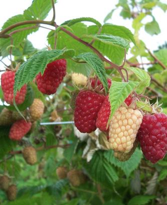 'Cascade Delight' raspberries