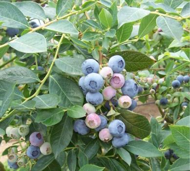 'Legacy' blueberries