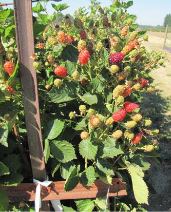 Primocane-fruiting blackberry