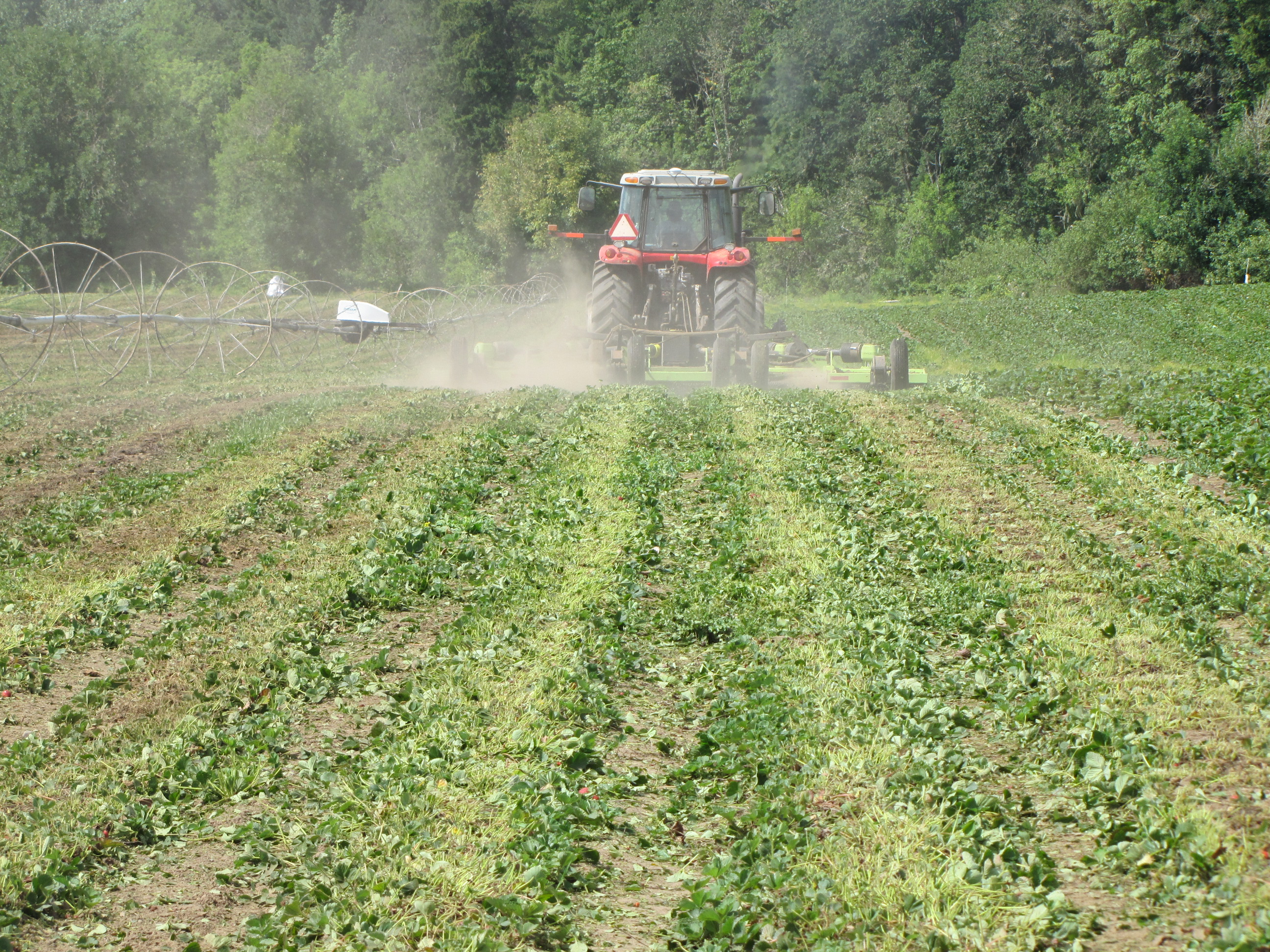 Figure 5. A June-bearing strawberry field in Oregon being renovated (mowed) a couple of weeks after the last fruit harvest.
