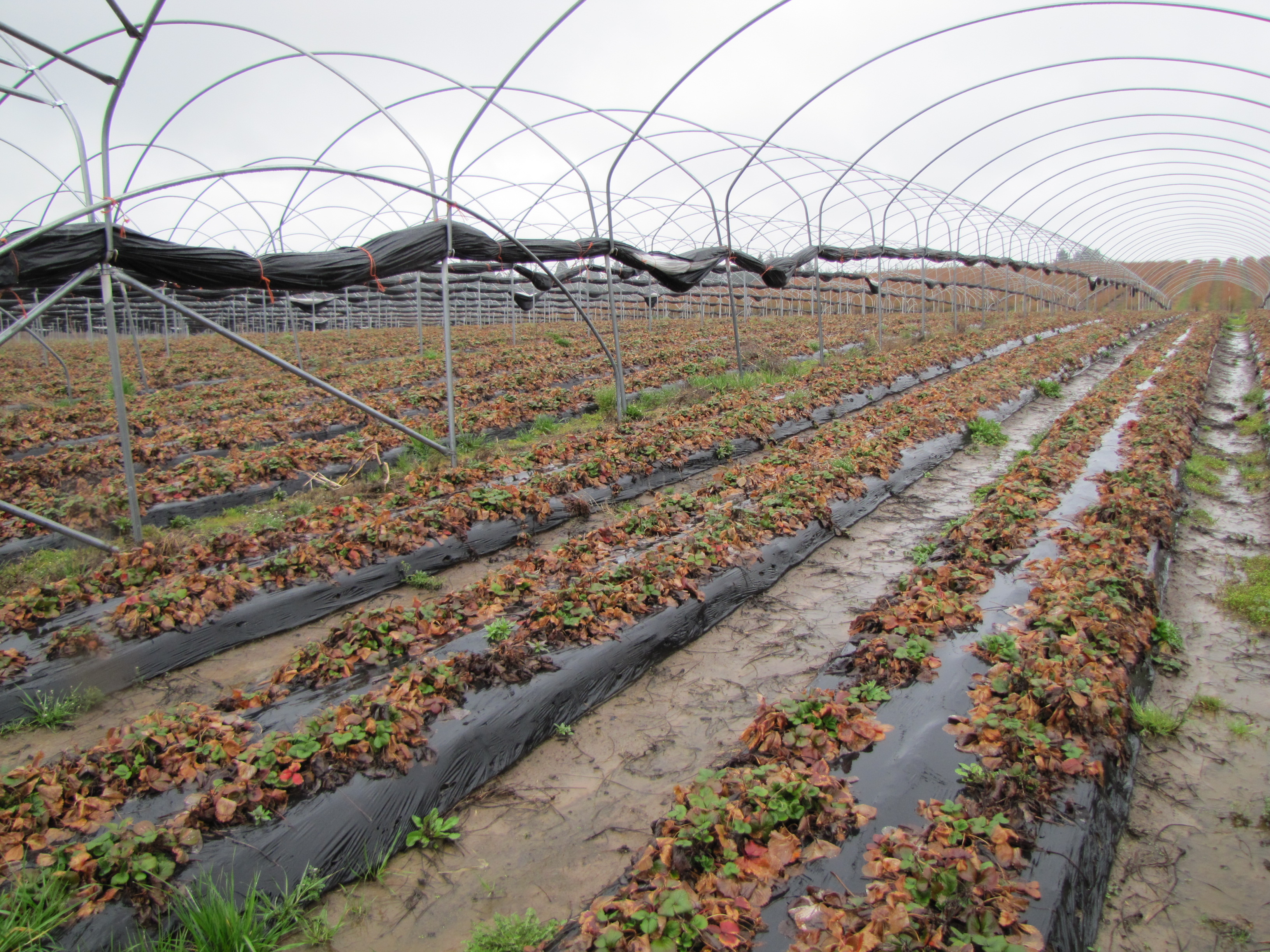 Figure 12. Strawberry growth in late winter (early March here) depends on stored nutrient reserves in the roots and crown. These are 'Albion' strawberries in Oregon.